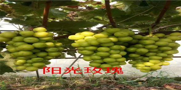 双江湾生态园葡萄预订